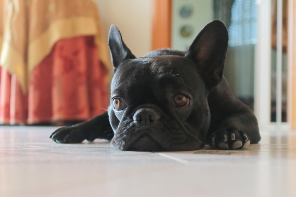 french bulldog bimba